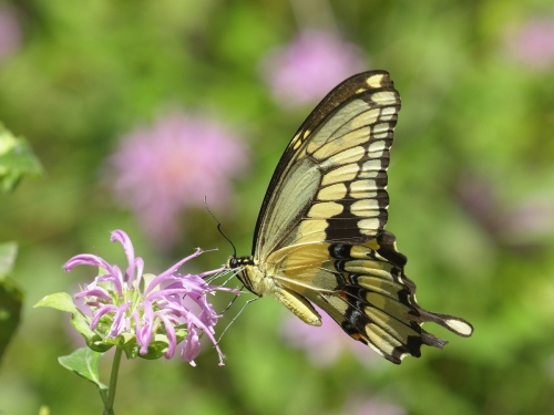 Giant Swallowtail, Aug '15, 1acarp.JPG